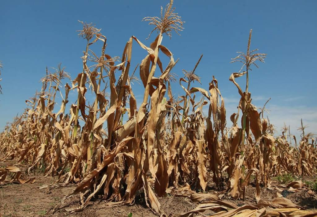 Daños a la agricultura, consecuencia de la sequía en México